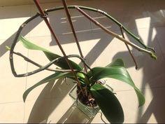 Producir mas varas florales de una misma guia en las orquideas Phal. - YouTube