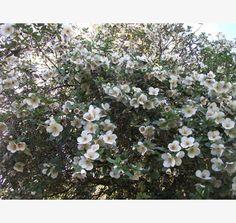 Eucryphia lucida - Tasmanian Leatherwood African Plants, Flora Flowers, Garden Trees, Trees And Shrubs, Drought Tolerant, Native Plants, Flower Beds, Nativity, Nursery