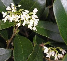 Tea Olive Tree... my favorite, wonderful smell - something between apricots & gardenia.  Tiny flowers, very potent.  I tuck little sachets inside boxes & drawers.