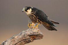 Falco-subbuteo