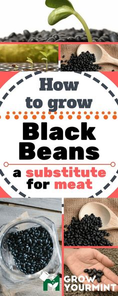 Here's how to grow black beans in your garden, so that you can try something new and to improve your gardening skills. #blackbeans#beans#garden#gardening#growyourmint.com