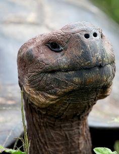 Galapagos Tortoise Portrait