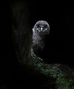 Peekaboo! by Sue Demetriou. Great Grey Owlet.