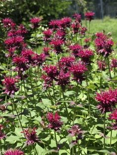 Bee balm is prized for its color and its tendency to attract bees and butterflies. It can spread quickly, though, and requires a bit of care to keep it under control. Learn more about how to manage bee balm plants in this article. Flowers Nature, Beautiful Flowers, What Is Gardening, Gardening Zones, Indoor Gardening, Organic Gardening, Gardening Tips, Bee Balm Flower, Bee Balm Plant