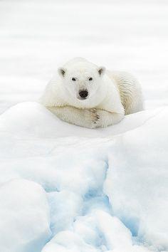 Photo Chillin par Rob Lafreniere. Cet ours regarde les éliminatoires du hockey au Canada.