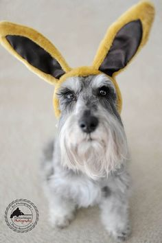 Remington in Easter Bunny Ears by Fix Your Images Photography #Miniature #Schnauzer