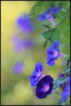 Volubilis -my favorite flower, blue morning glory My Flower, Purple Flowers, Flower Power, Beautiful Flowers, Cactus Flower, Beautiful Gorgeous, Exotic Flowers, Yellow Roses, Simply Beautiful