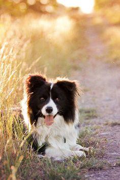 pretty border collie or Australian Shepherd, not sure which~