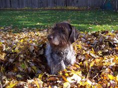 Here is Frankie, a German Wirehaired Pointer enjoying the outdoors. - submitted by Joan N. National Pet Day, German Wirehaired Pointer, Lego Man, Picture Sharing, Pet Insurance, Reasons To Smile, Hunting Dogs, Photo Contest, Pointers