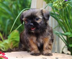 These 15 pug cross-breeds will make you fall in love with mutts. Cute Puppies, Dogs And Puppies, Doggies, Pug Mixed Breeds, Pug Cross, Really Cute Dogs, Yorkie Puppy, Pug Life, Yorkshire Terrier