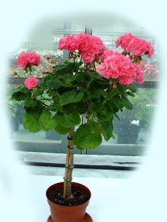 100 Pcs Drawf Bonsai Geranium seeds Rare Variegated Geranium Flower Seed Potted Winter Garden Flower for Bonsai Plant for Graden Boxwood Garden, Tree Seeds, Seed Pots, Flower Seeds, Bonsai Plants, Easy To Grow Houseplants, Plants, Geraniums, Geranium Plant