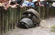 He Won That Race In This Picture: Photo of turtles humping