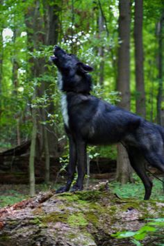 Lucian the Wolfdog