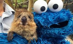 Quokka and Cookie Monster