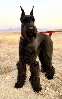 Ranked as one of the most popular dog breeds in the world, the Miniature Schnauzer is a cute little square faced furry coat. Schnauzer Grooming, Miniature Schnauzer Puppies, Giant Schnauzer, Schnauzer Puppy, Dog Grooming, Baby Puppies, Cute Puppies, Dogs And Puppies, Cute Dogs