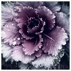 Blooming Cabbage Flower