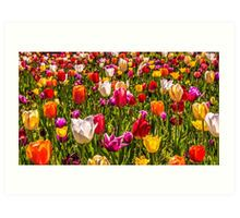 Colourful Tulips at the Conservatory Gardens Art Print