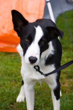 Mcnab Border Collie Sophie Pinterest Collie Dog And Doggies
