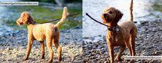 Ears Goldendoodle Lamp Clip: 3/4″ Body Blended Into Longer Legs (Ears Shorter On Left) Goldendoodle Haircuts, Goldendoodle Grooming, Poodle Cuts, Haircut Pictures, Goldendoodles, Long Legs, Mustache, Hair Cuts, Pets