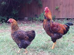 Odin and Maybelline 6 mos. old Gold Laced Wyandottes.