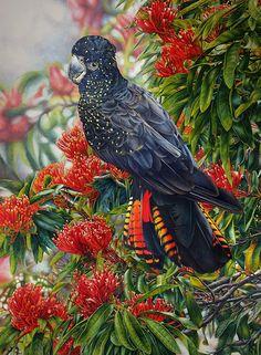 Red Tailed Black Cockatoo and Tree Waratah - Heidi Willis Australian Painting, Australian Birds, Wildlife Paintings, Wildlife Art, Birds And The Bees, Realistic Paintings, Watercolor And Ink, Watercolour Painting, Watercolors