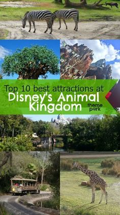 Top 10 Best attractions at Disney's Animal Kingdom theme park at Walt Disney World - we love the Expedition Everest roller coaster and the Kilimanjaro Safari!