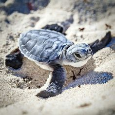 Little sea turtle