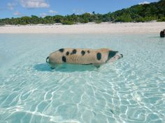Top Travel Destinations | Swimming Pigs| Swimming with Pigs in The Exumas | Staniel Cay | Traveling to The Exumas, Bahamas | Guide to Exumas, Bahamas | elanaloo.com