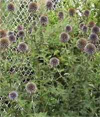 3 x artificielle Cottage Garden chardons Rose-Ball Chardon Heads-Spiky feuilles
