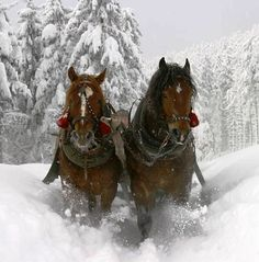 Heavy horses through the snow
