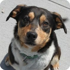 Meet Randy, a very handsome Aussie mix available for adoption in Naperville, IL.