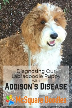 Diagnosing our Labradoodle Puppy with atypical Addison's Disease. While we were not expecting such an uncommon diagnosis, especially in a Labradoodle puppy who was less than a year old, we felt better knowing the cause of his nausea, fatigue, and anxiety. Dog Care Tips, Pet Care, Training Tips, Dog Training, Training Collar, Emergency Vet, Addison's Disease, Cute Dog Photos, Smiling Dogs