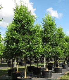 Back Fence - East Palatka Holly Tree