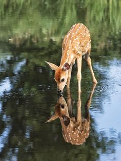 While drinking the deer sees himself mirrored in the clear water!