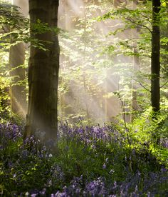 Bluebell Woods, Co. Down, Ireland