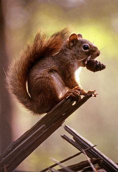 Whadaya know? Some parts *are* edible! | Flickr - Photo Sharing! - squirrel