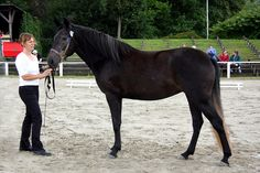 Barb mare Falina le Bonite. Barb horse is one of the oldest and most influential horse breeds. It's native in North Africa and it's supposed to be one of the ancestors of Spanish horses. Sometimes Barb is mixed with Arabian but they're totally different, Barb has a straight or convex profile and sloping croup and it's slightly heavier than Arab. Despite of its conformational faults, it's a noble riding horse with lots of stamina and speed.