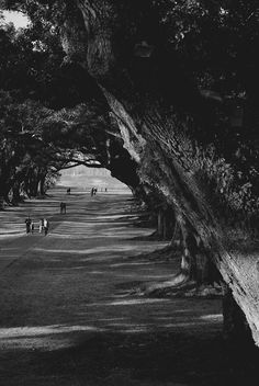 Oak Alley Plantation Oaks. Imagine the energy eminating from these powerful beauties.