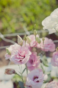 Future cutting garden: Lisianthus is a Texas native, but probably will perform as an annual in North Texas. Grow from starts. :: Photo by Maria Mack Photography