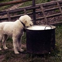#dogalize Alimentazione del cane latte dannoso? Scopriamolo insieme #dogs #cats #pets