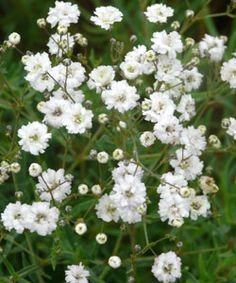 Gypsophila Hybride 'Compacta Plena' - Gefülltes Schleierkraut