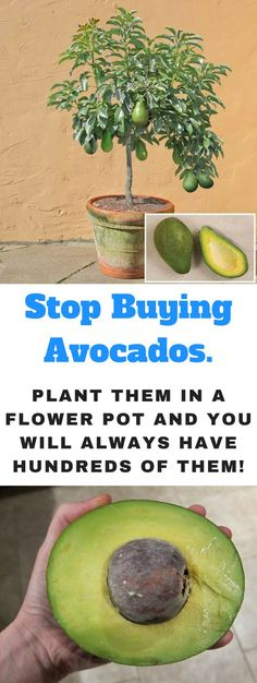 how to grow an avocado tree, how to grow an avocado tree that bears fruit, avocado plant care, top and bottom of avocado seed, how to plant an avocado seed in soil, how to grow avocado indoors, avocado tree for sale, where should i plant my avocado tree, avocado tree melbourne