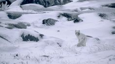 White Fox in ICE Wallpapers HD Wallpapers