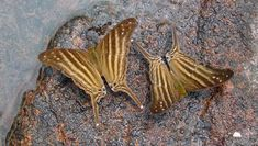 Many-banded Daggerwing (Marpesia chiron) - Photo by Jorge Lopes Moth Species, Butterfly Species, Holiday Accommodation, Beautiful Butterflies, Best Hotels, Brazil, The Best, Regional, Park