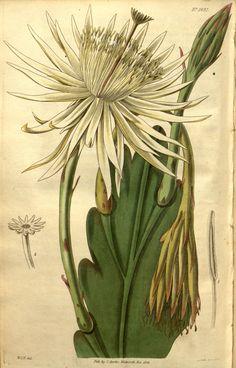 Cactus phyllanthus. v.53 (1826) - Curtis's botanical magazine. - Biodiversity Heritage Library