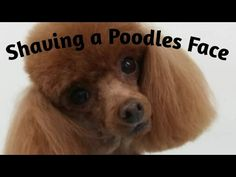 How to Shave a Toy Poodles face. - YouTube