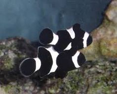 black snowflake clownfish - Google Search