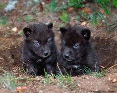 Twitter, Two black wolf pups with blue eyes. Black wolves are endangered. pic.twitter.com/7bfo4IPdFy