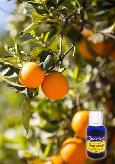 Tangerine Essential Oil (Citrus reticulata) for aromatherapy, skin care and natural perfumes. Tinderbox: supplying pure essential oils since Tangerine Essential Oil, Reduce Gas, Blue Glass Bottles, Citrus Oil, Clary Sage, Pure Essential Oils, Herbalism, Fragrance, Perfume