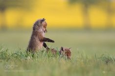 creatures-alive:  fox puppies by Anke Kneifel